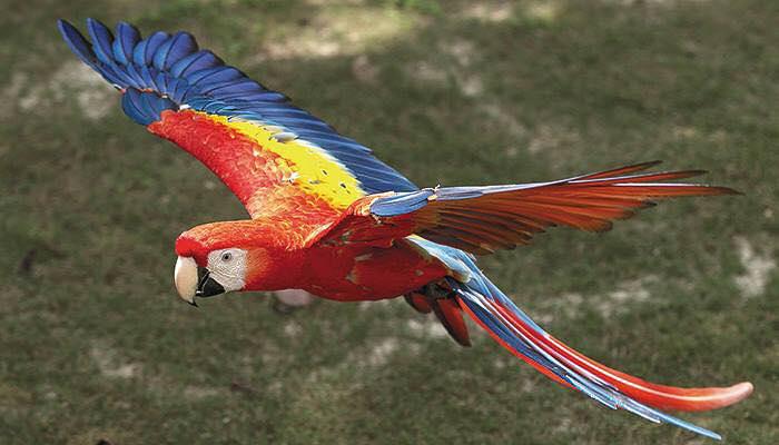 Roter Ara – Foto SINAC | Costa Rica