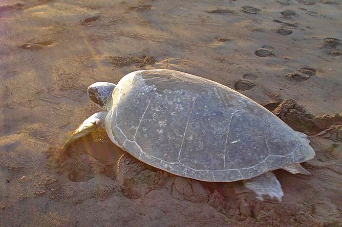 Tortuguero Meeresschildkröte