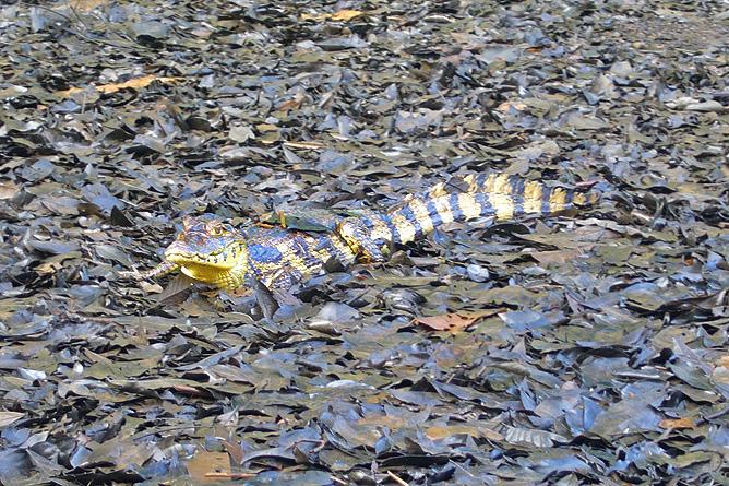 Tortuguero Bootstour Kanal Aligator