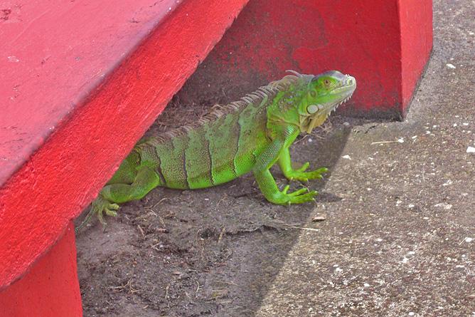 Tortuguero Dorf grüner Leguan