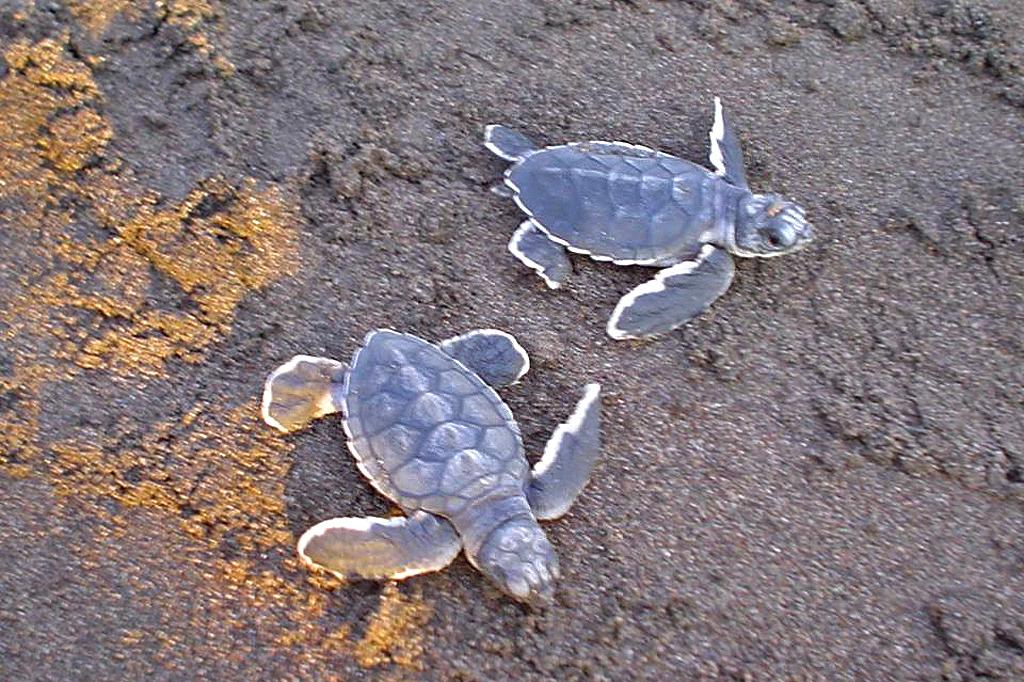 Tortuguero Meeresschildkröten