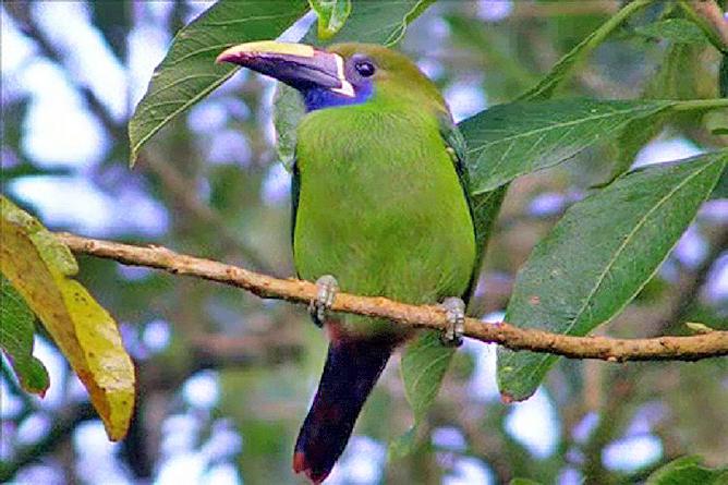 Tucancillo Esmeralda Curré_Vogel Monteverde