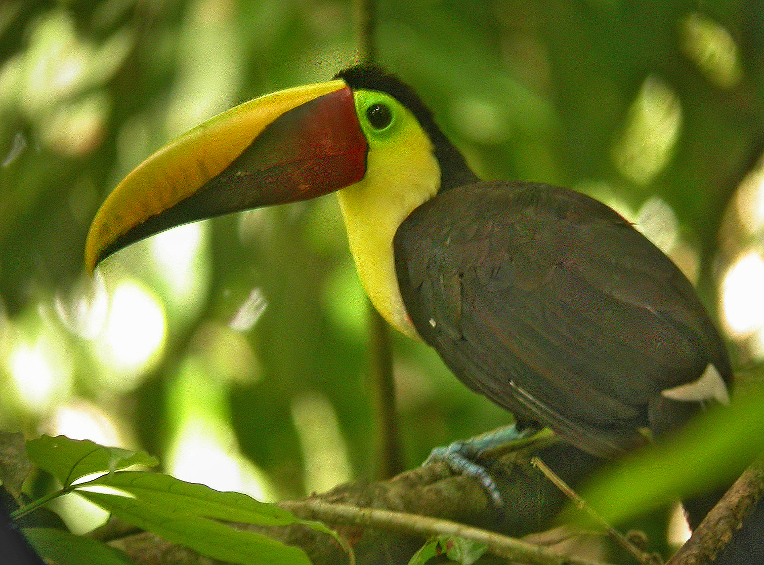 Tukan – Tarcoes-Carara | Costa Rica