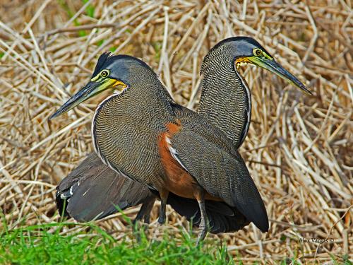 Vogelwelt – Nationalpark Carara | Costa Rica