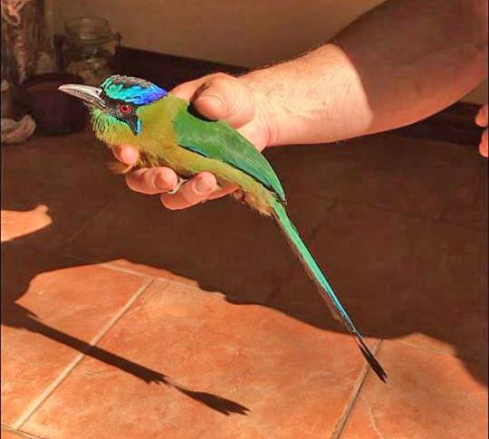 Motmot   Birding in Costa Rica