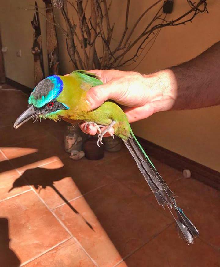 Motmot   Vogel in Costa Rica