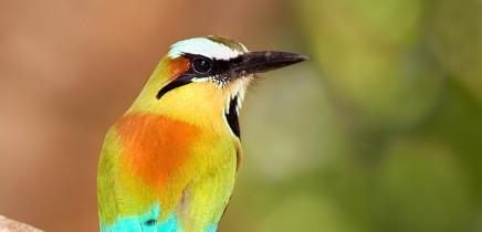 motmot-vogel-costa-rica