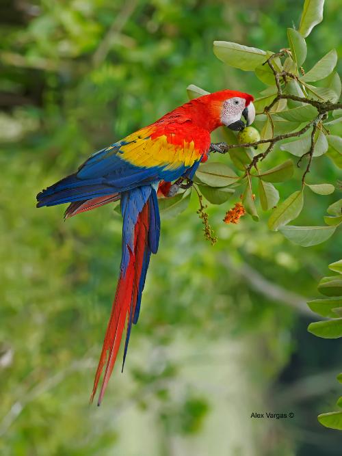 Roter Ara im Nationalpark Carara | Costa Rica