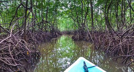 Sierpe Mangroven
