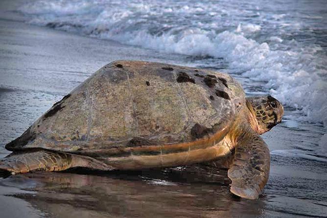 Rana Roja Tortuguero Nationalpark Meeresschildkröte