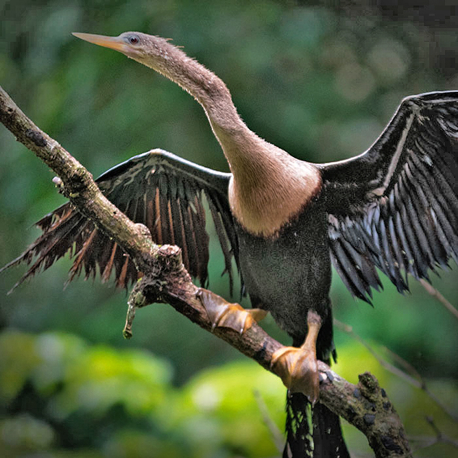 Rana Roja Vogelbeobachtung Tortuguero Kanal