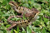Cahuita_Nationalpark_Eidechse_Foto Iris_2012