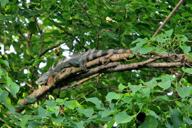 Cahuita Nationalpark Gründer Leguan