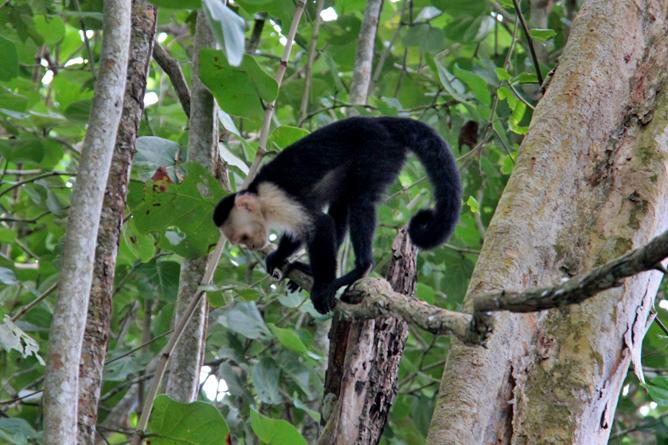 Cahuita Nationalpark Kapuziner Affen