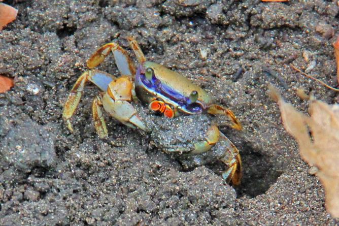 Cahuita Nationalpark Krabbe