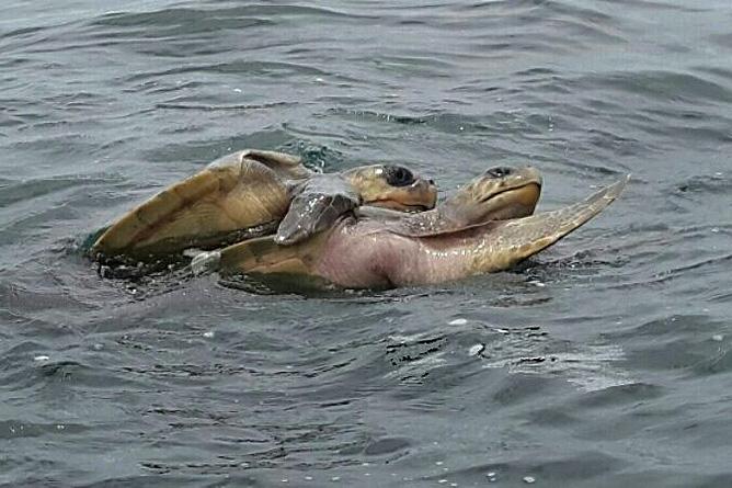 Carate Meeresschildkröten am Strand Maro Tours
