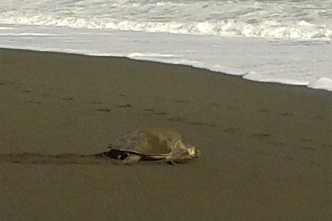 Carate Meeresschilkröten am Strand Maro Tours