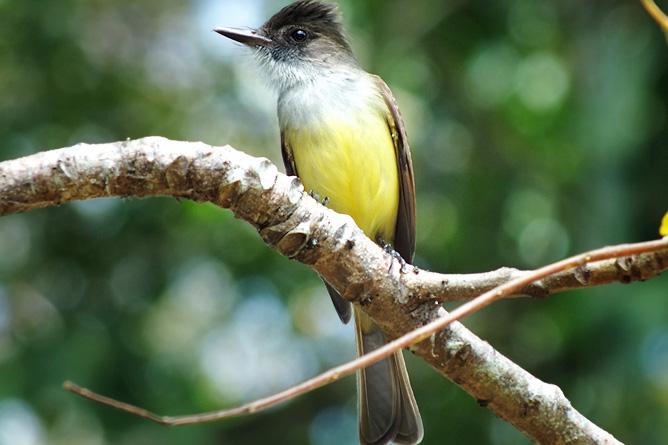 Vogelbeobachtung Cahuita Tours
