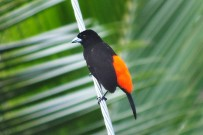 Vogelbeobachtung_Cherries-Tangar_Cahuita-Tours_03-07-2018