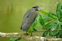 Vogelbeobachtung_Kahnschnabel_Cahuita-Tours_03-07-2018