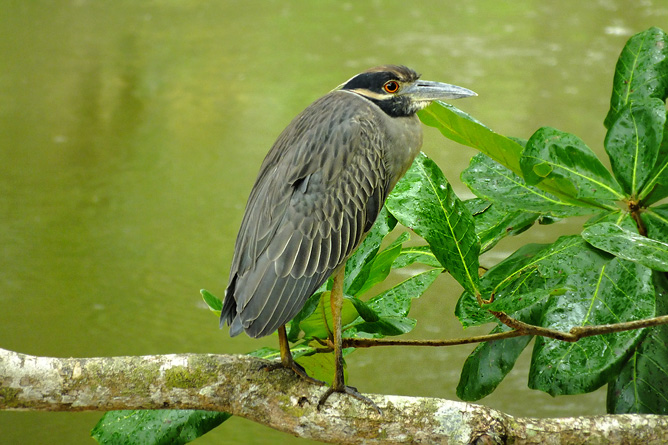 Vogelbeobachtung Kahnschnabel Cahuita Tours