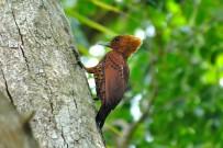 Vogelbeobachtung_Specht_Cahuita-Tours_03-07-2018