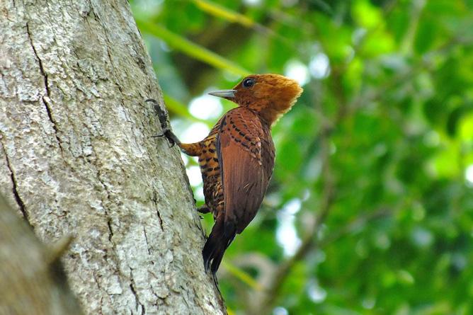Vogelbeobachtung Specht Cahuita Tours