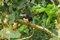 Vogelbeobachtung_Tucancillo_Cahuita-Tours_03-07-2018