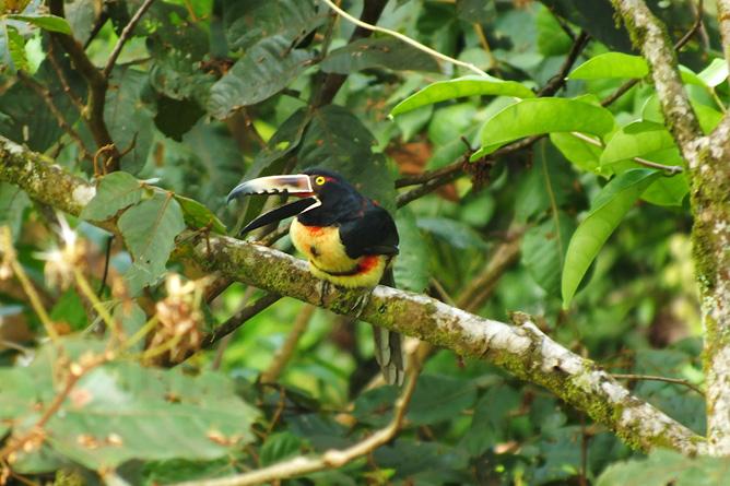 Vogelbeobachtung Tucancillo Cahuita Tours