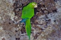 Vogelbeobachtung grüner Papagei Cahuita Tours