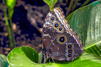 Costa Rica Schmetterling