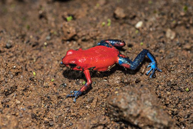 Costa Rica Frosch