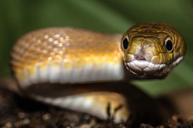Costa Rica Schlange
