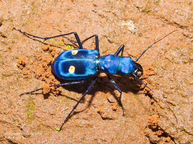Guanacasta Santa Rosa Käfer Pseudoxycheila tarsalis (Foto: ACG Luciano Capelli)