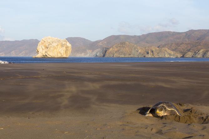 Santa Rosa Nationalpark Bahia Elena Meeresschildkröte (Foto: ACG Luciano Capelli)