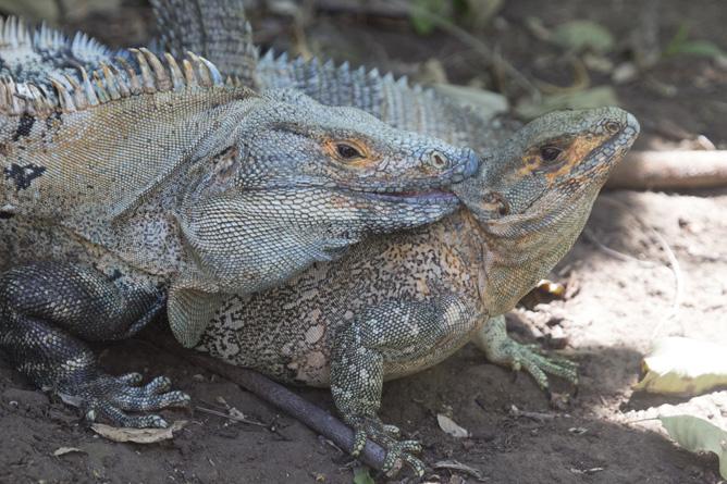 Santa Rosa Nationalpark Ctenosaura similis copula  (Foto: ACG Luciano Capelli)