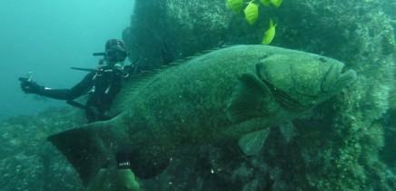 Tauchen Isla Caño Riesenfisch