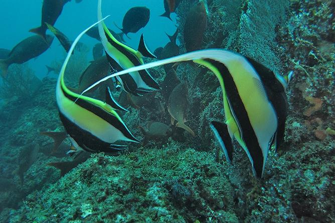 Tauchen Isla Caño farbenfrohe Fische
