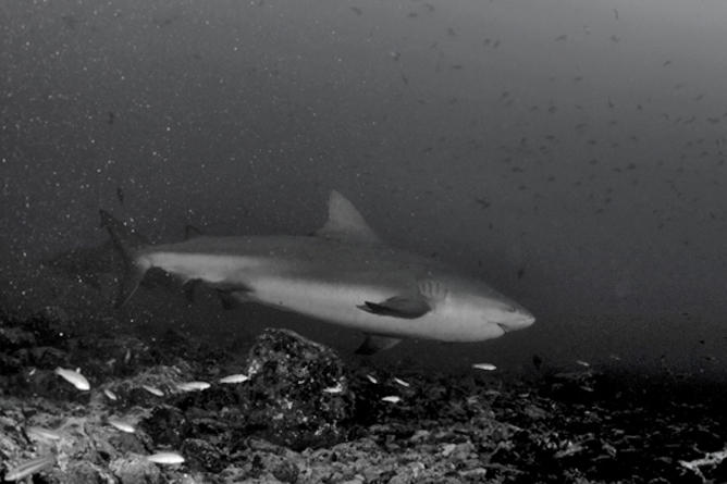 Tauchen Murcielago Inseln Hai