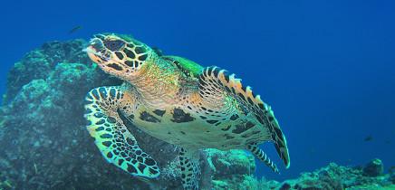Meeresschildkröte Insel Caño Costa Rica (Südpazifik)
