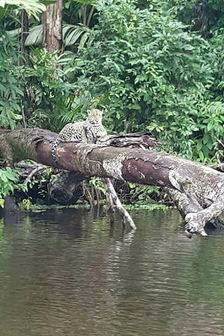 Jaguar_Lirio Lodge_Barra de Pacuare_Foto Micha 18-11-2017
