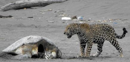 Jaguar_frisst Meeresschildkroete_Foto Micha 18-11-2017
