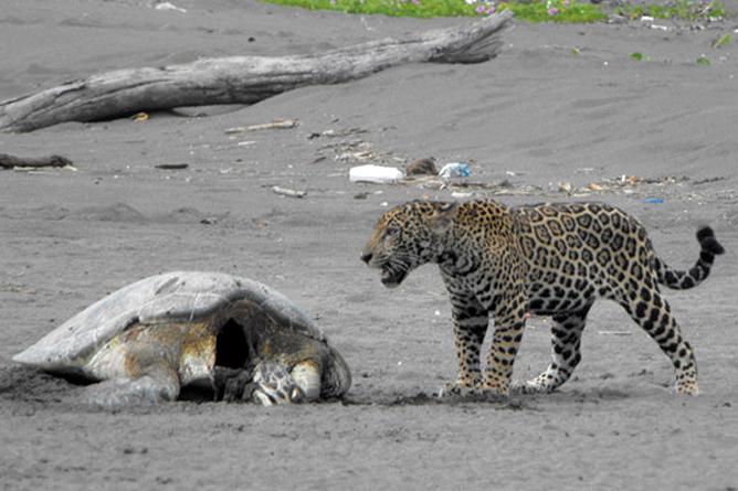 Jaguar frisst Meeresschildkröte