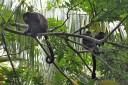 Maquenque Wildarten Refugium Affen