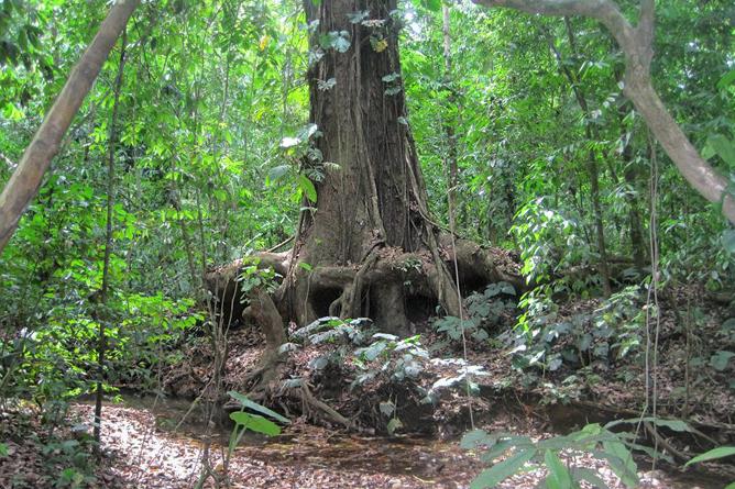 Osa Aventura Baumriesen im Nationalpark Corcovado
