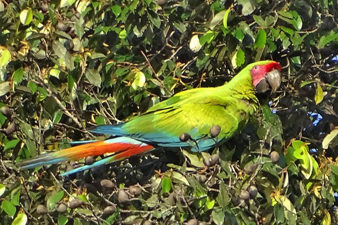 Pedacito de Cielo_Vogelbeobachtung_3_Grüner Ara_Reservat Camino de San Juan_09-2018