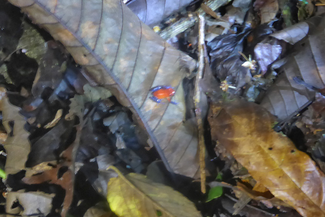 Froschtour Pfeiligiftfrosch im Laub Arenal Oasis