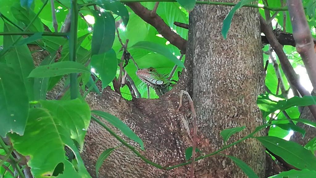 Pibi Boreal Leguan