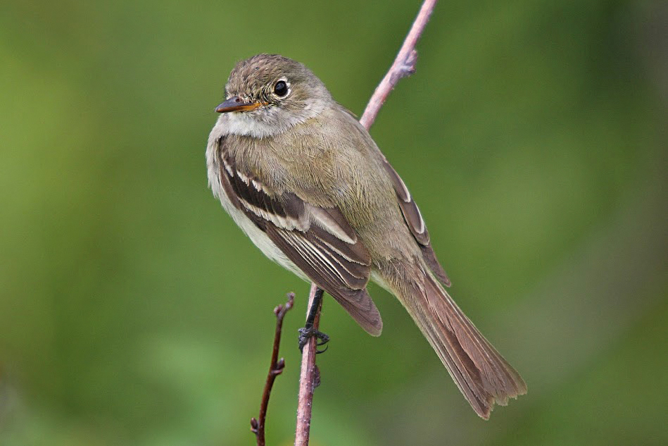 Pibi Boreal Vogelbeobachtung