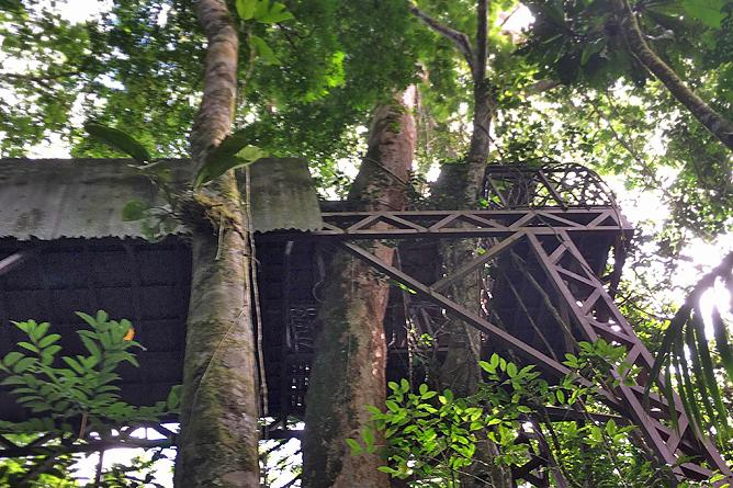 Almendro Baum neben dem Baumhaus in Maquenque Lodge